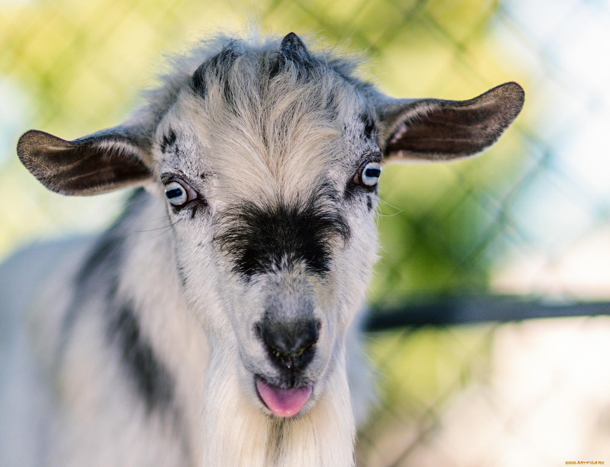 Картинки вот коза
